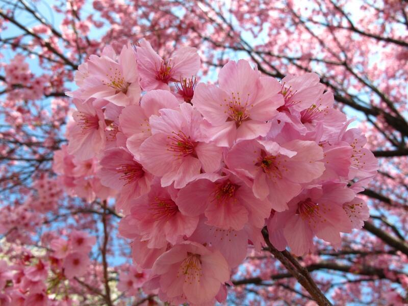Найновіші Фотошпалери Цвітіння Сакури в Японії Природа, Фотошпалери Цвітіння Сакури, Фотошпалери японської Сакури, Фотошпалери квіти, Фотошпалери Японія id48414587