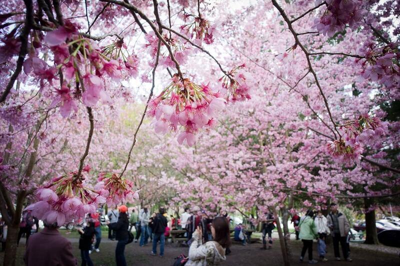 Новейшие Фотообои Цветения Сакуры в Японии Природа, Фотообои Цветение Сакуры, Фотообои японской Сакуры, Фотообои цветы, Фотообои Япония id1095151579