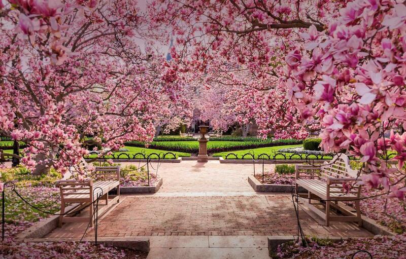 Новейшие Фотообои Цветения Сакуры в Японии Природа, Фотообои Цветение Сакуры, Фотообои японской Сакуры, Фотообои цветы, Фотообои Япония id1433512686