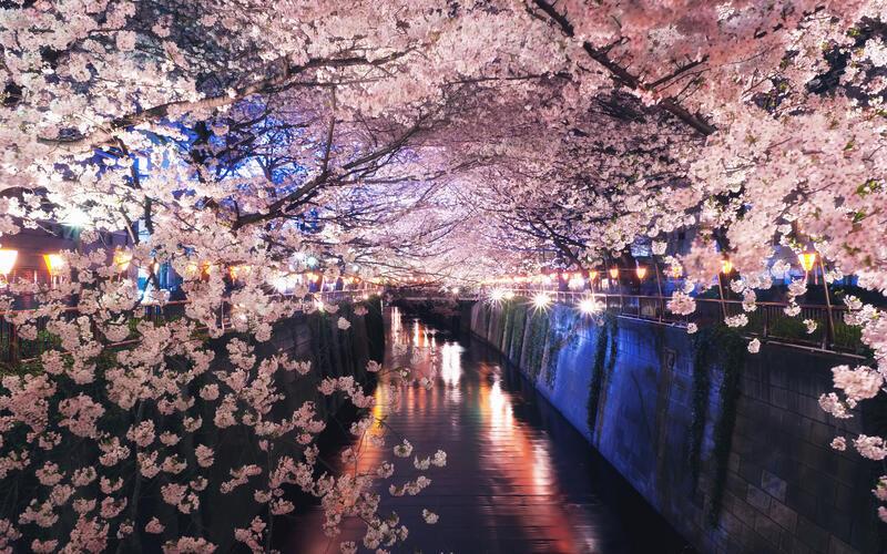 Newest Japan Sakura Blossom Wallpapers Природа, Wallpapers Sakura blossom, Wallpapers Japanese Sakura, Wallpapers flowers, Wallpapers Japan id922853202