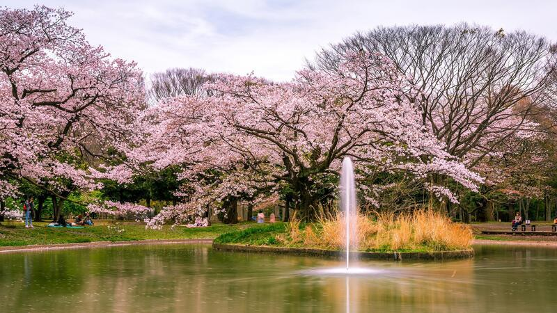 Newest Japan Sakura Blossom Wallpapers Природа, Wallpapers Sakura blossom, Wallpapers Japanese Sakura, Wallpapers flowers, Wallpapers Japan id2054121835