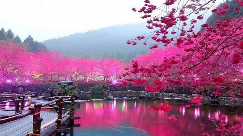 Newest Japan Sakura Blossom Wallpapers Природа, Wallpapers Sakura blossom, Wallpapers Japanese Sakura, Wallpapers flowers, Wallpapers Japan id475082331