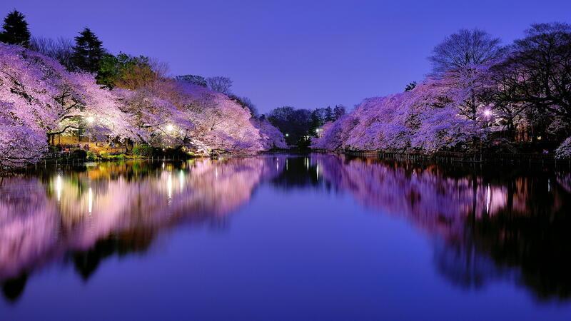 Новейшие Фотообои Цветения Сакуры в Японии Природа, Фотообои Цветение Сакуры, Фотообои японской Сакуры, Фотообои цветы, Фотообои Япония id1006715405