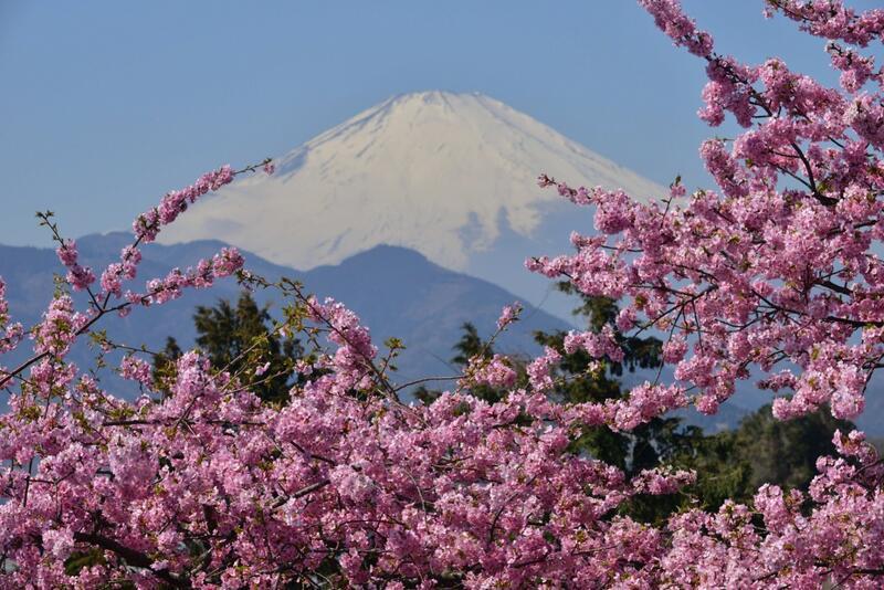 Новейшие Фотообои Цветения Сакуры в Японии Природа, Фотообои Цветение Сакуры, Фотообои японской Сакуры, Фотообои цветы, Фотообои Япония id223936290