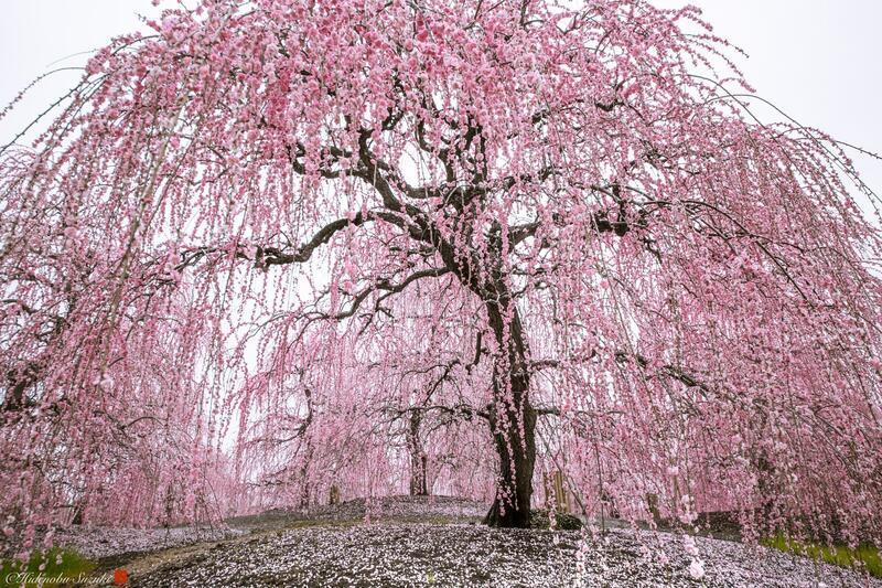 Найновіші Фотошпалери Цвітіння Сакури в Японії Природа, Фотошпалери Цвітіння Сакури, Фотошпалери японської Сакури, Фотошпалери квіти, Фотошпалери Японія id660717154