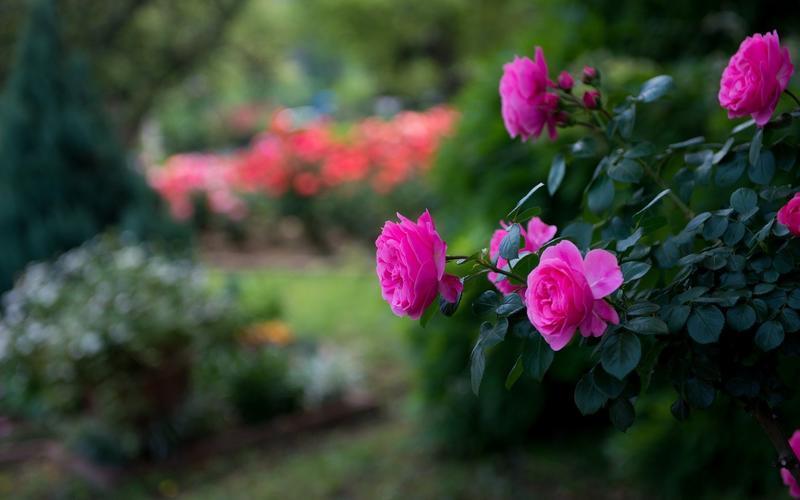 Найчудовіші мальовничі квіти Природа, Квіти, Магнолія, Гербера, Хризантема, Троянда, Ромашка id1577788977