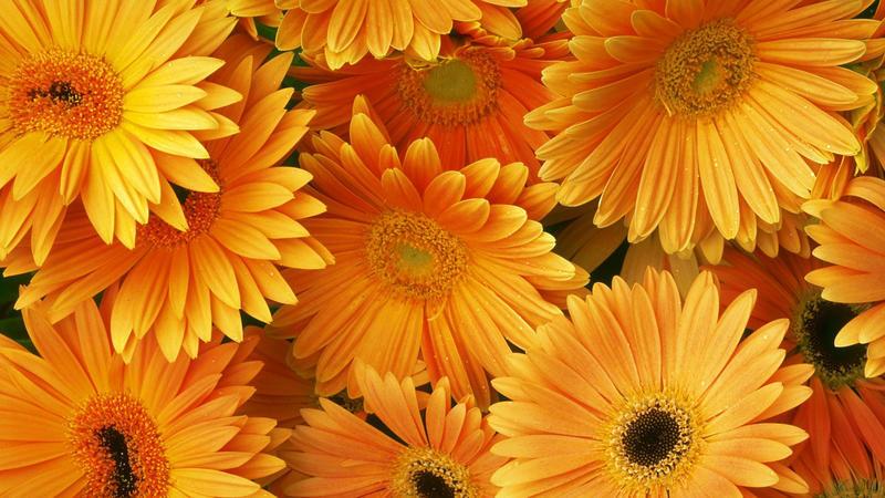 Найчудовіші мальовничі квіти Природа, Квіти, Магнолія, Гербера, Хризантема, Троянда, Ромашка id1857935879