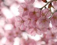 Найчудовіші мальовничі квіти Природа, Цветы, Магнолия, Гербера, Хризантема, Роза, Ромашка id547648053
