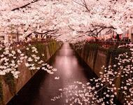 Найновіші Фотошпалери Цвітіння Сакури в Японії Природа, Фотошпалери Цвітіння Сакури, Фотошпалери японської Сакури, Фотошпалери квіти, Фотошпалери Японія id1476616623