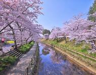 Найновіші Фотошпалери Цвітіння Сакури в Японії Природа, Фотошпалери Цвітіння Сакури, Фотошпалери японської Сакури, Фотошпалери квіти, Фотошпалери Японія id371507251