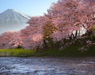 Найновіші Фотошпалери Цвітіння Сакури в Японії Природа, Фотошпалери Цвітіння Сакури, Фотошпалери японської Сакури, Фотошпалери квіти, Фотошпалери Японія id1776502583