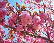 Новейшие Фотообои Цветения Сакуры в Японии Природа, Фотообои Цветение Сакуры, Фотообои японской Сакуры, Фотообои цветы, Фотообои Япония id109393543