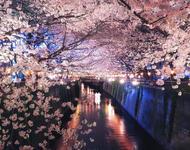 Newest Japan Sakura Blossom Wallpapers Природа, Wallpapers Sakura blossom, Wallpapers Japanese Sakura, Wallpapers flowers, Wallpapers Japan id1922942397