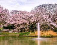Newest Japan Sakura Blossom Wallpapers Природа, Wallpapers Sakura blossom, Wallpapers Japanese Sakura, Wallpapers flowers, Wallpapers Japan id1586168796