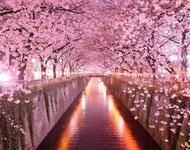 Newest Japan Sakura Blossom Wallpapers Природа, Wallpapers Sakura blossom, Wallpapers Japanese Sakura, Wallpapers flowers, Wallpapers Japan id627815481