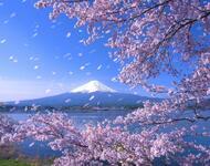 Новейшие Фотообои Цветения Сакуры в Японии Природа, Фотообои Цветение Сакуры, Фотообои японской Сакуры, Фотообои цветы, Фотообои Япония id897710861