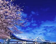 Новейшие Фотообои Цветения Сакуры в Японии Природа, Фотообои Цветение Сакуры, Фотообои японской Сакуры, Фотообои цветы, Фотообои Япония id1871973167