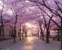 Невозможно не сказать, наверное, о главном весеннем событии в Японии — цветении сакуры. Любование сакурой японцы называют о-хана